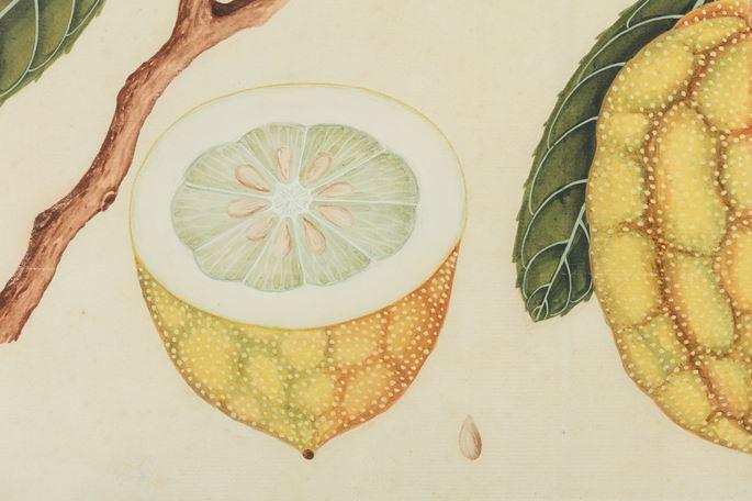 A Study of a Citron (Citrus medica) | MasterArt