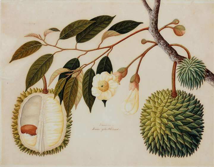 A Study of a Durian (Durio zibethinus)