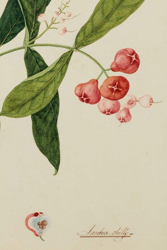 A Study of a Rose Apple (syzygium) | MasterArt