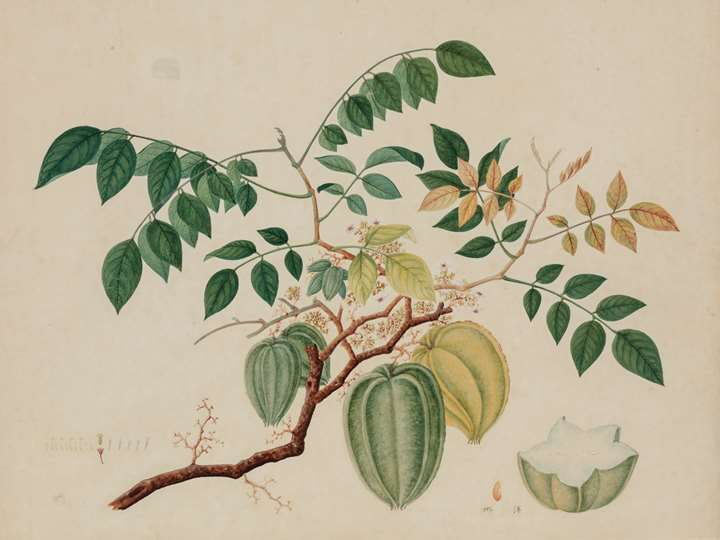 A Study of a Star Fruit (Averrhoa carambola)