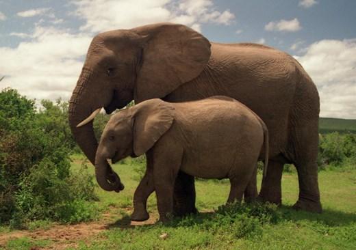Elephants Take Huge Step Back Thanks to U.S.