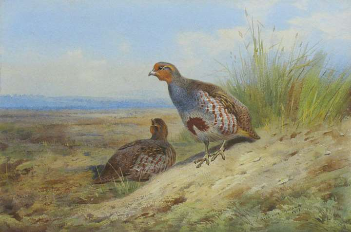 A pair of grey partridge on the moor