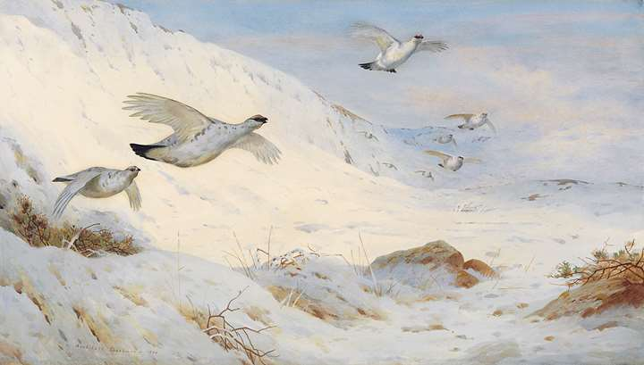 Ptarmigan in winter plumage, flying across the snow