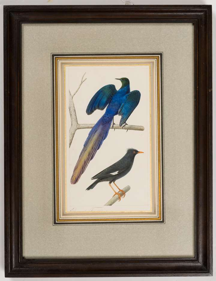 A Long-Tailed Glossy Starling and a Common Myna