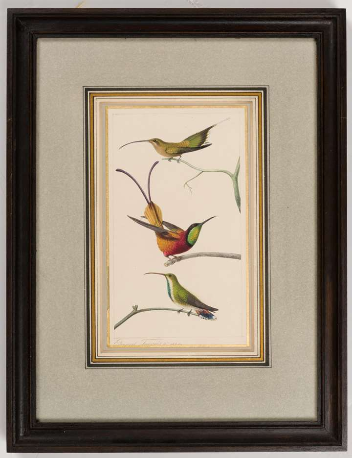 A Long-Tailed Hermit Hummingbird, a Crimson Topaz Hummingbird, and a Green-Throated or a Black-Throated Mango Hummingbird