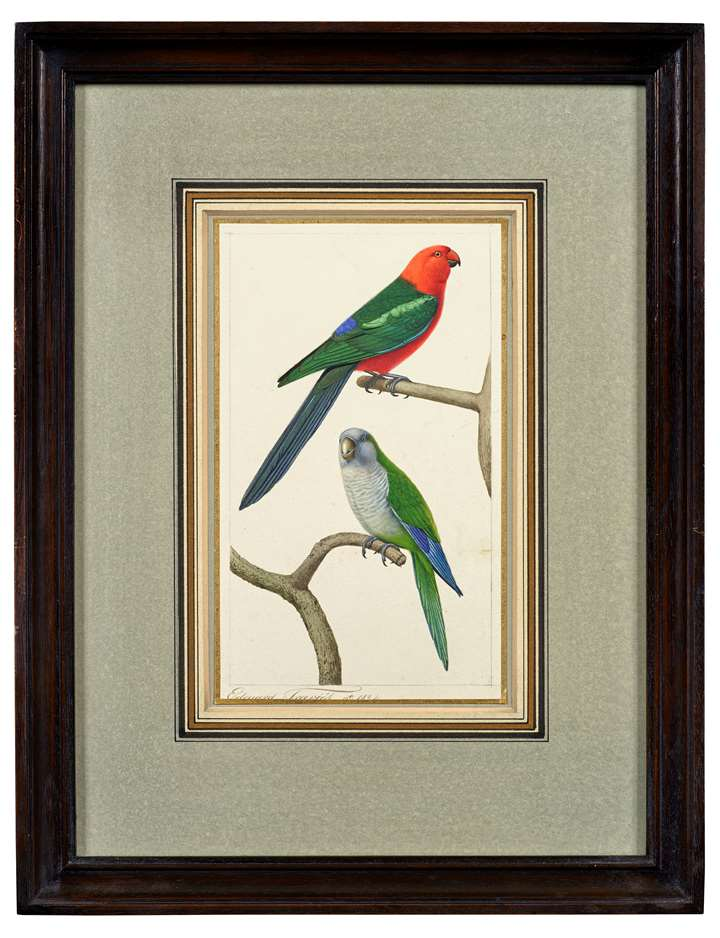 A Papuan or Green-Winged King Parrot (Alisterus chloropterus) and a Monk Parakeet (Myiopsitta monachus)