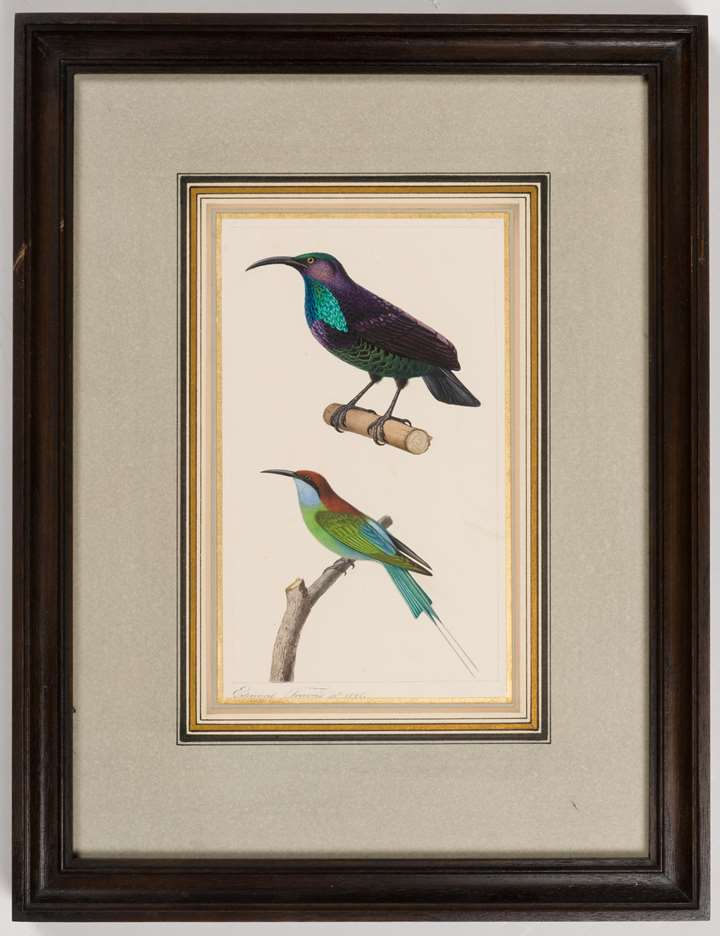 A Paradise Riflebird (Lophorina paradisea) and a Blue-Throated Bee Eater (Merops viridis)
