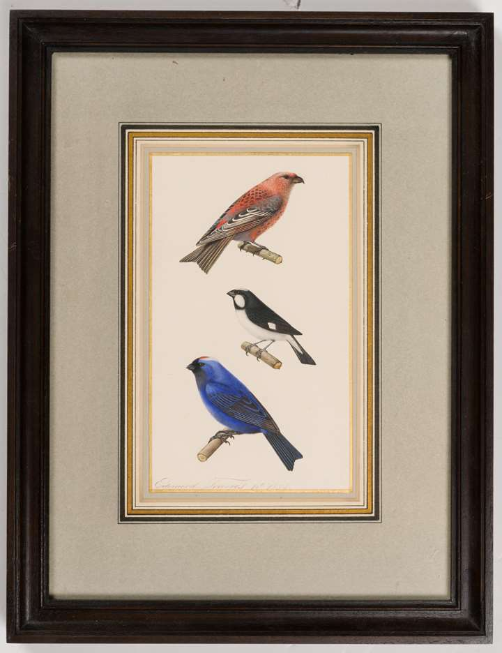 A Pine Grosbeak, a Lined Seedeater and a Diademed Tanager
