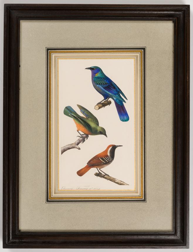 Edouard TRAVIES - A Purple Glossy Starling, a Thrush or a Tropical Kingbird and a Thrush or a Star-Throated Antwren | MasterArt