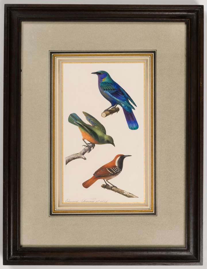 A Purple Glossy Starling, a Thrush or a Tropical Kingbird and a Thrush or a Star-Throated Antwren
